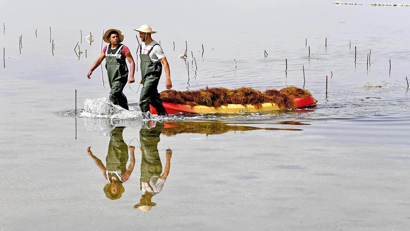 عاملان يجمعان محصول الطحالب.  أ.ف.ب