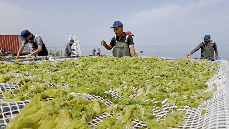 تُستعمل الطحالب الحمراء اليوم في عمليات صناعة مواد التجميل والأدوية.  أ.ف.ب