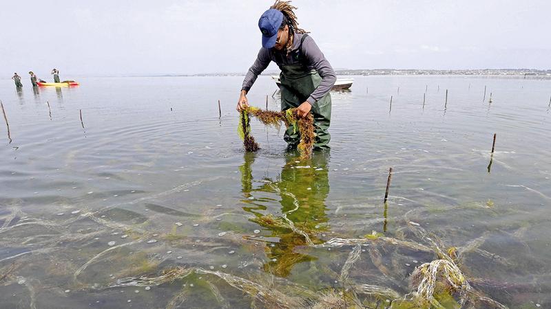عامل يحصد منتج الطحالب من المياه الراكدة.  أ.ف.ب
