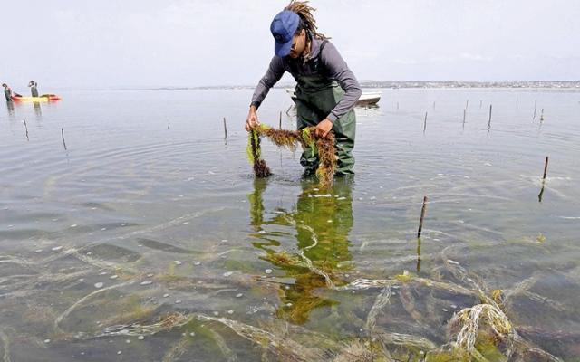 الصورة: حكايات سياسية.. زراعة الطحالب الحمراء تجعل تونس «رائدة» في المجال
