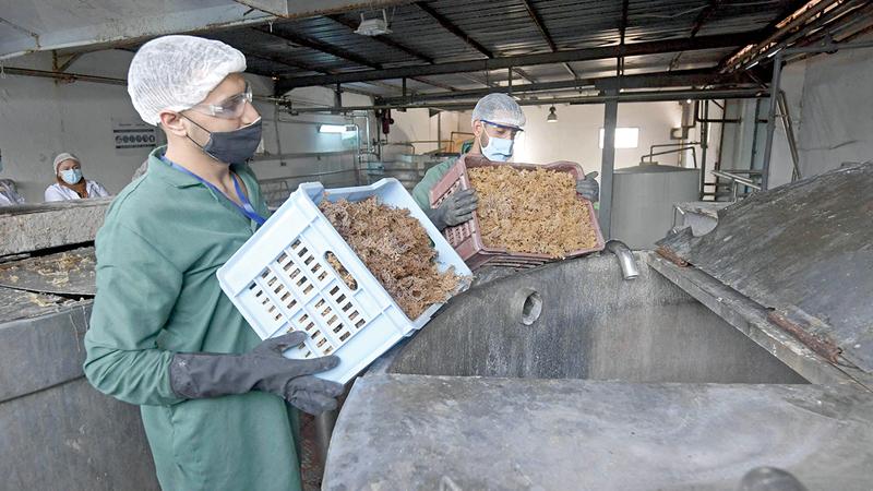 نقل الطحالب الجافة إلى المصنع.  أ.ف.ب