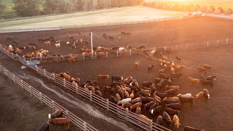 أصحاب مزارع تسمين الأبقار أكدوا أن إيراداتهم بالكاد تغطي كلفة الإنتاج بسبب ممارسات الشركات الـ4 الكبرى.  من المصدر