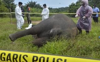 الصورة: العثور على فيل مقطوع الرأس ومنزوع النابين في إندونيسيا