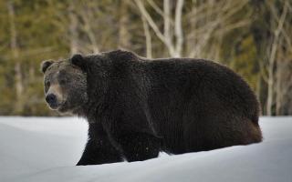 الصورة: بعد مطاردات لنحو أسبوع.. إنقاذ أميركي من براثن دب في ألاسكا