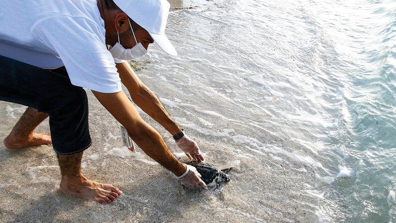 تعد أبوظبي موطناً لـ 5500 سلحفاة بحرية من أنواع مختلفة.  من المصدر
