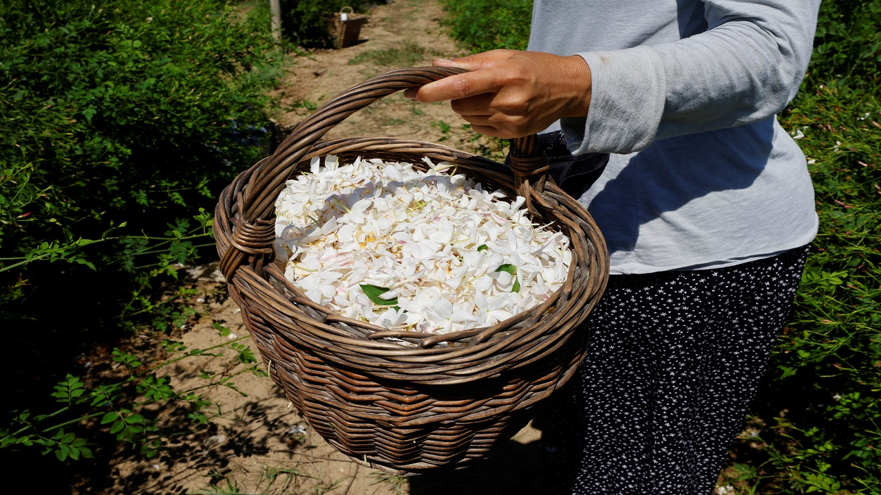 للياسمين المزروع في جراس رائحة مميزة. رويترز