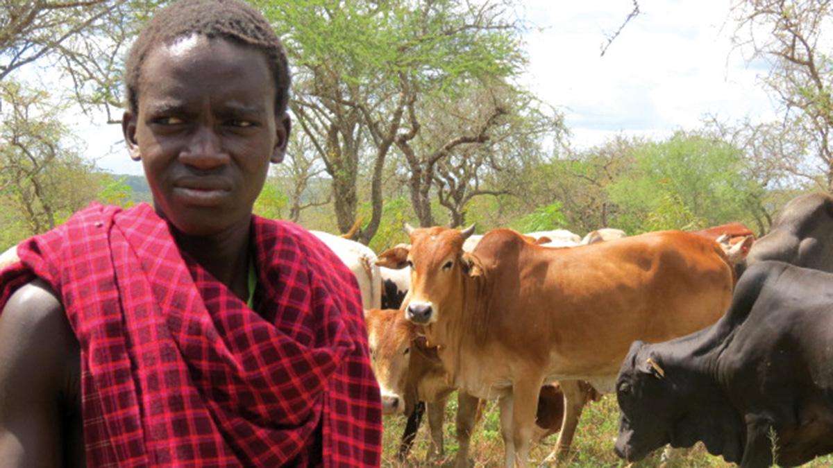 مجتمع «الماساي» في تنزانيا رعاة ماشية يتنقلون مع قطعانهم. . من المصدر