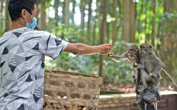 الصورة: بسبب «كورونا».. القردة تغزو المنازل في جزيرة بالي