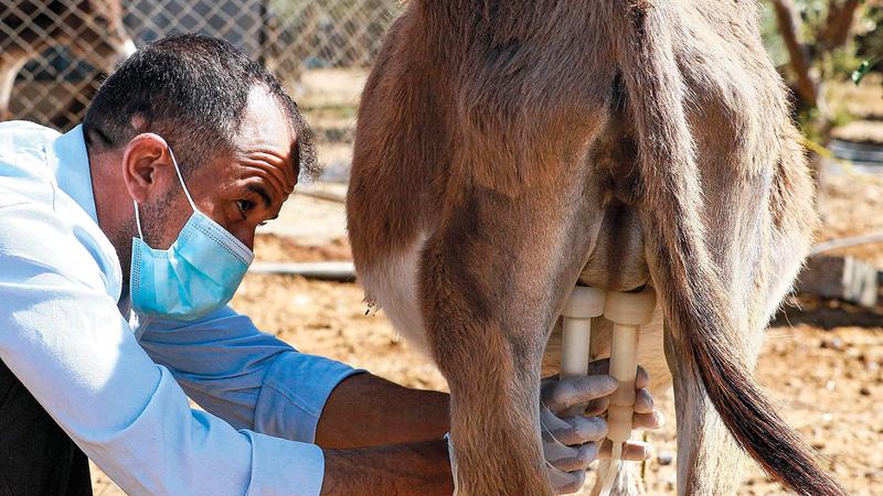 في مزرعة صغيرة في محافظة مادبا يتمايل 12 حماراً بانتظار أن يُنقل حليب الأتان إلى مشغل صغير في عمّان ليصنع منه الصابون.  رويترز