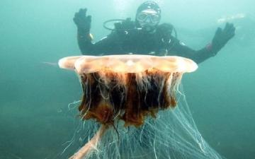 الصورة: يلدغ 150 شخصاً في وقت واحد.. أكبر قناديل البحر يظهر مجدداً