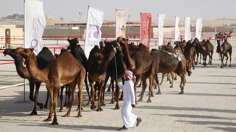 مهرجان الظفرة يبرز اهتمام الإماراتيين بالإبل وتراثها وتقديرهم مكانتها منذ القدم.  من المصدر