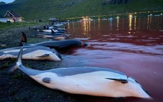 الصورة: «مجزرة الدلافين»