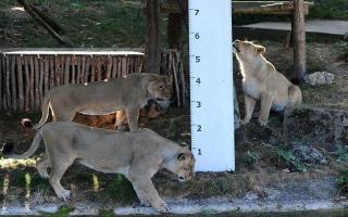 الصورة: 6 أسود و3 نمور مصابة بكورونا في حديقة حيوانات واشنطن