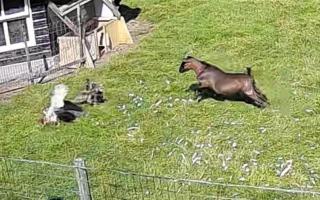 الصورة: ماعز وديك تأخذهما النخوة فينقذان دجاجة من مخالب صقر .. فيديو