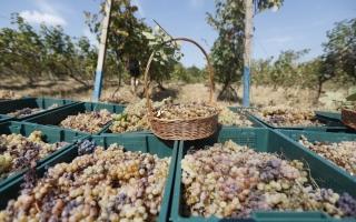 الصورة: حصاد العنب في جورجيا.. صور