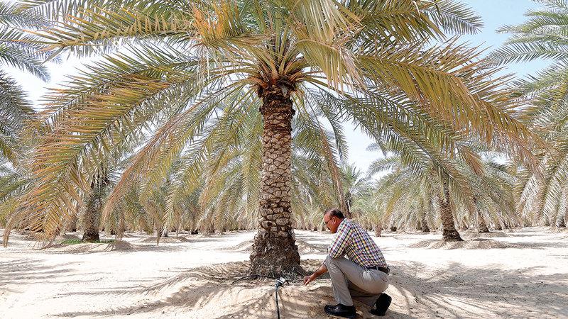 نظام «أنبوب مسامي» ساعد على نمو جذور شجرة النخيل في عمق غير محدود داخل التربة.   تصوير: باتريك كاستيلو