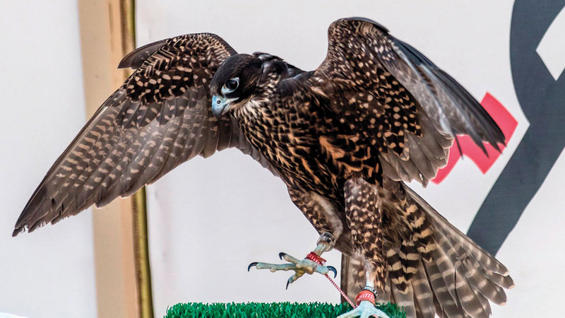 مسابقات الصقور تشهد تنافس أفضل الطيور.  أرشيفية