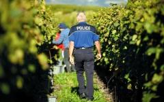 الصورة: لصوص مجهولون يسرقون محاصيل العنب في سويسرا