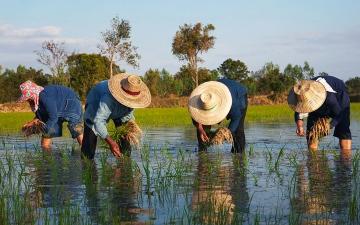 الصورة: إكسبو لايف.. «أرز غاسبري» ينتشل آلاف المزارعين في تايلاند من الفقر