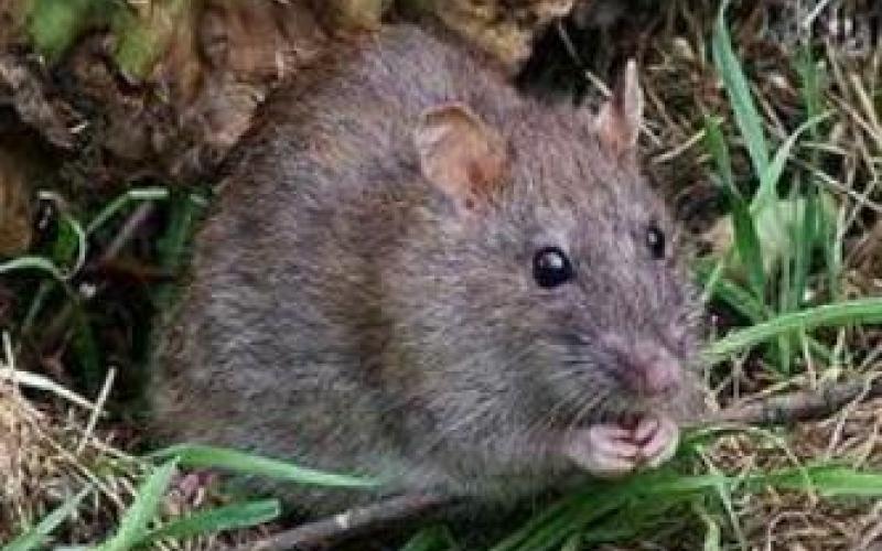 بالفيديو.. فئران ضخمة تخرج من بطون خرفان مذبوحة في مطعم!