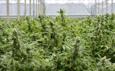 حكومة الأوروغواي تقنن زراعة القنب.  غيتي