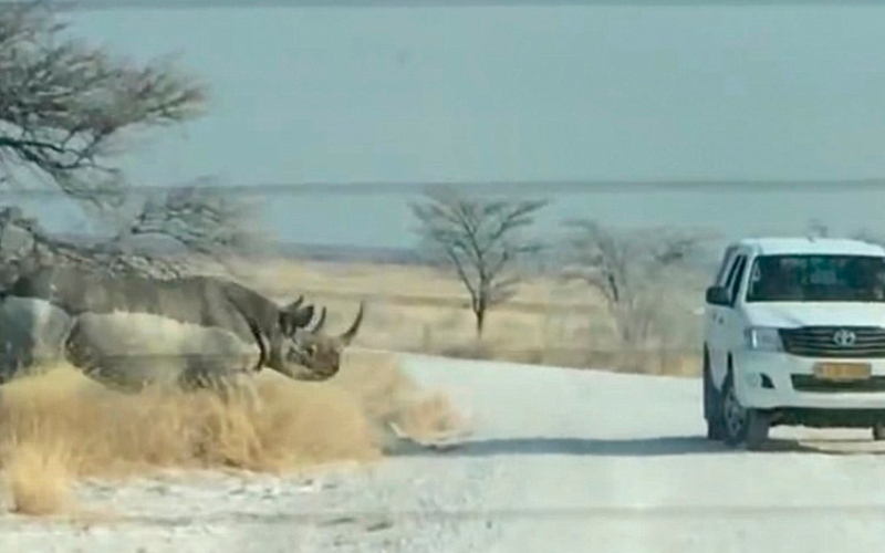 بالفيديو.. لحظة هجوم وحيد قرن على سيارة سياح