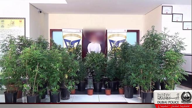 """بالفيديو والصور..شرطة دبي تضبط أكبر مشتل لزراعة """"الماريغوانا"""" داخل الدولة"""