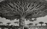 بالصور.. أقدم الأشجار