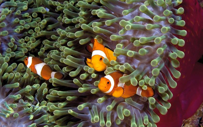 يمكن للغواصين مشاهدة أسماك المهرّج قبالة الساحل الجنوبي الشرقي لجزيرة سيلايار.  د.ب.أ