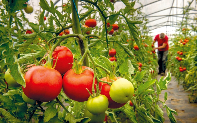 علماء يحاولون إعادة الطعم الطبيعي للطماطم