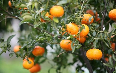 #سؤال ـ بسيط..  ماهو الفرق بين برتقال اليوسفي وكلمنتين