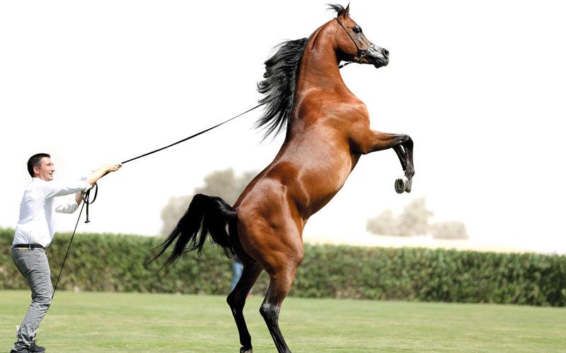 مربط دبي يعرض أجمل خيول العالم للجمهور في يوم مفتوح