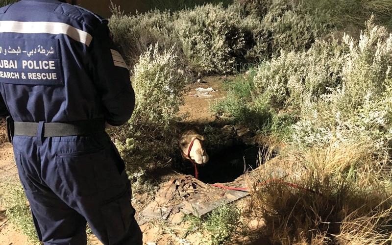 شرطة دبي تنقذ جملاً سقط في حفرة