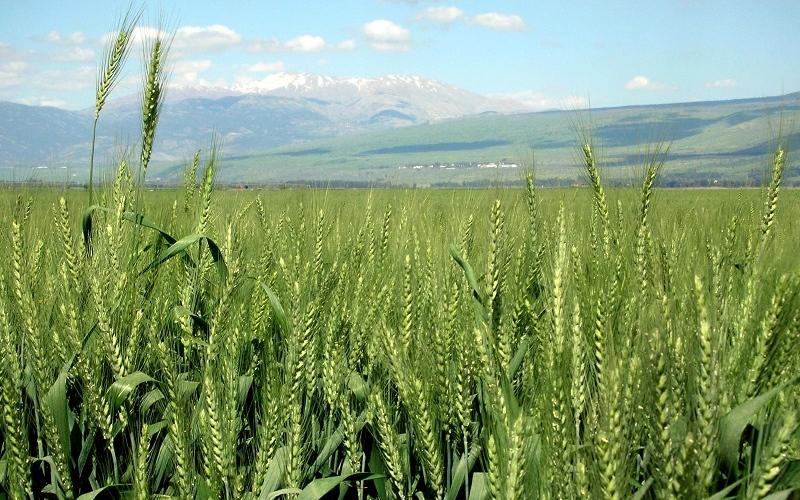 مصر تشتري 2.9 مليون طن قمحا من المزارعين المحليين